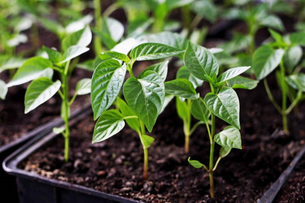 como plantar Pimentaserrano