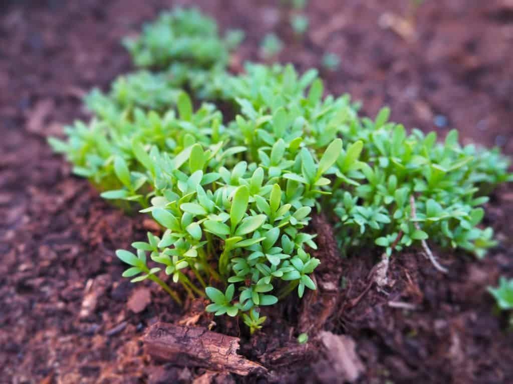 como plantar agriao da terra