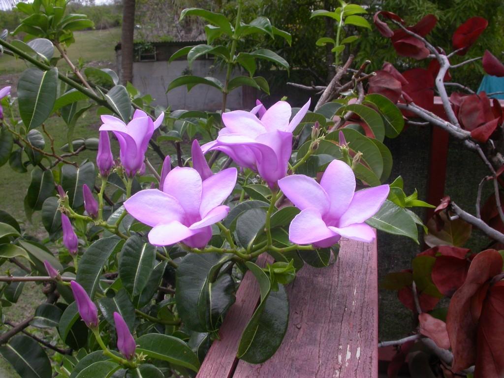 como plantar alamanda roxa