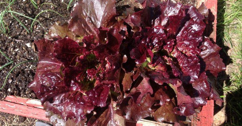 como plantar alface roxo