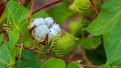 como plantar algodao