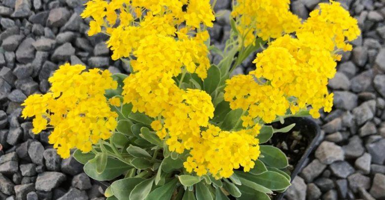 como plantar alyssum amarelo
