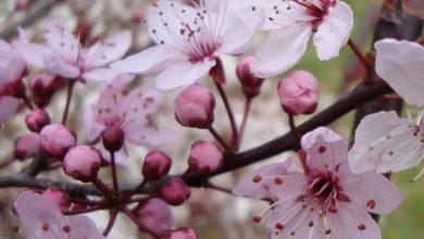 como plantar ameixa de folha roxa