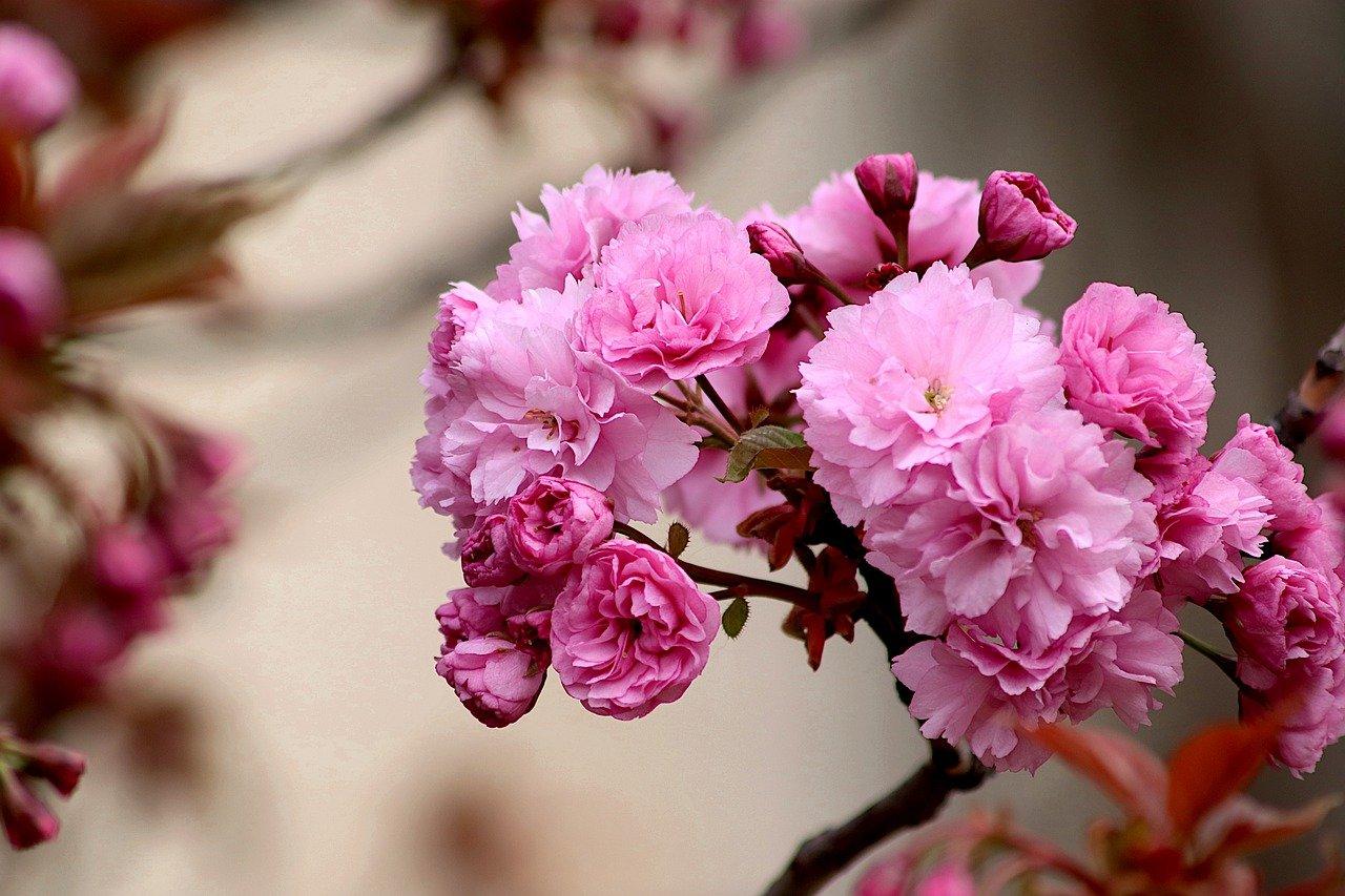 como plantar arbusto de cereja