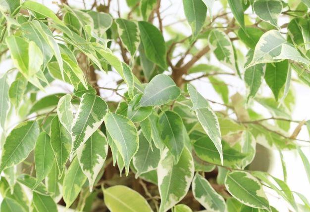 como plantar benjamina