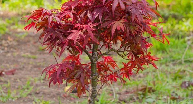 como plantar bordo japones