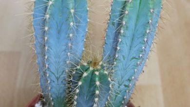 como plantar cacto azul