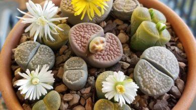 como plantar cacto pedra