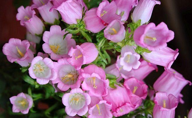 como plantar campanula rosa