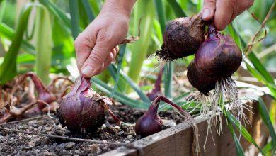 como plantar cebola roxa