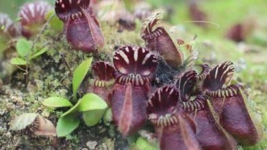 como plantar cephalotus follicularis