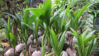 como plantar coco anao