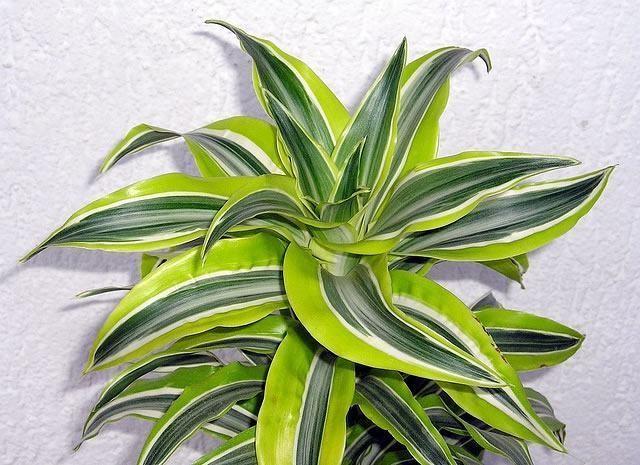 como plantar dracaena lima