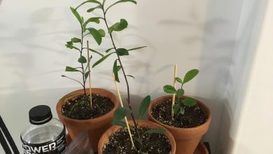 como plantar erva mate