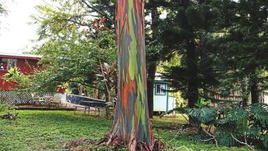 como plantar eucalipto arco-iris.