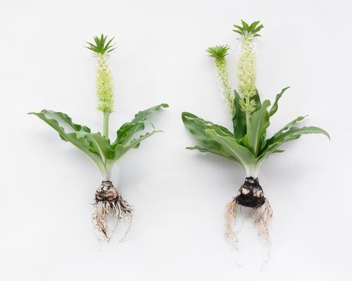 como plantar eucomis