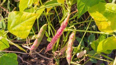 como plantar feijao vermelho