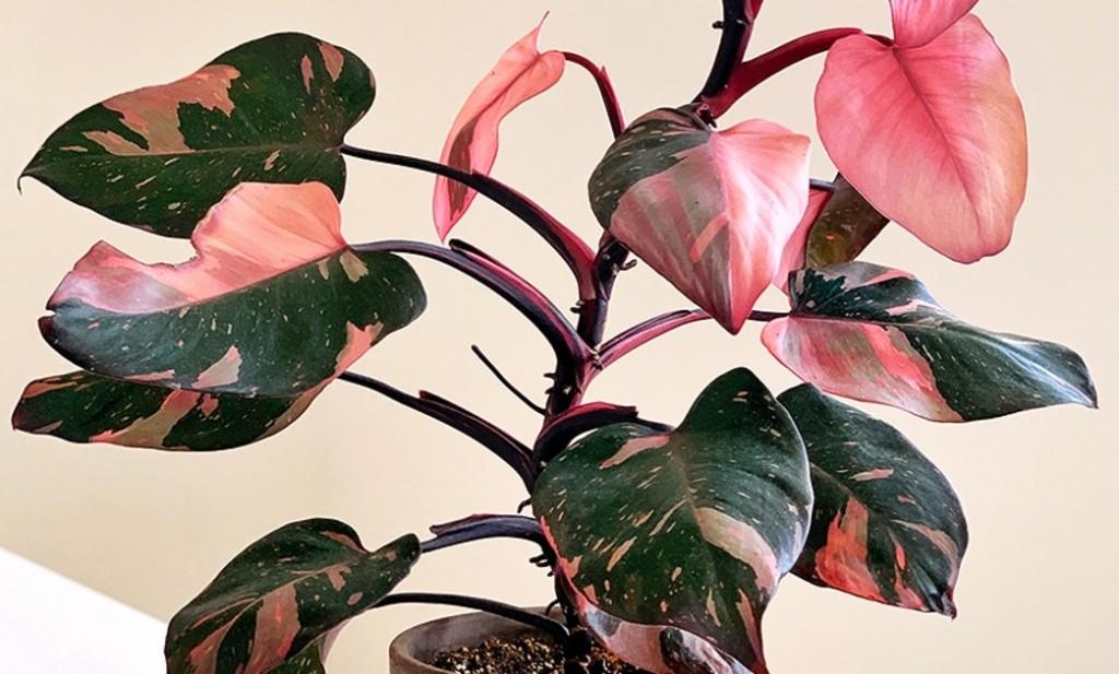 como plantar filodendro de princesa rosa