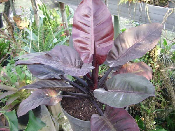 como plantar filodendro roxo