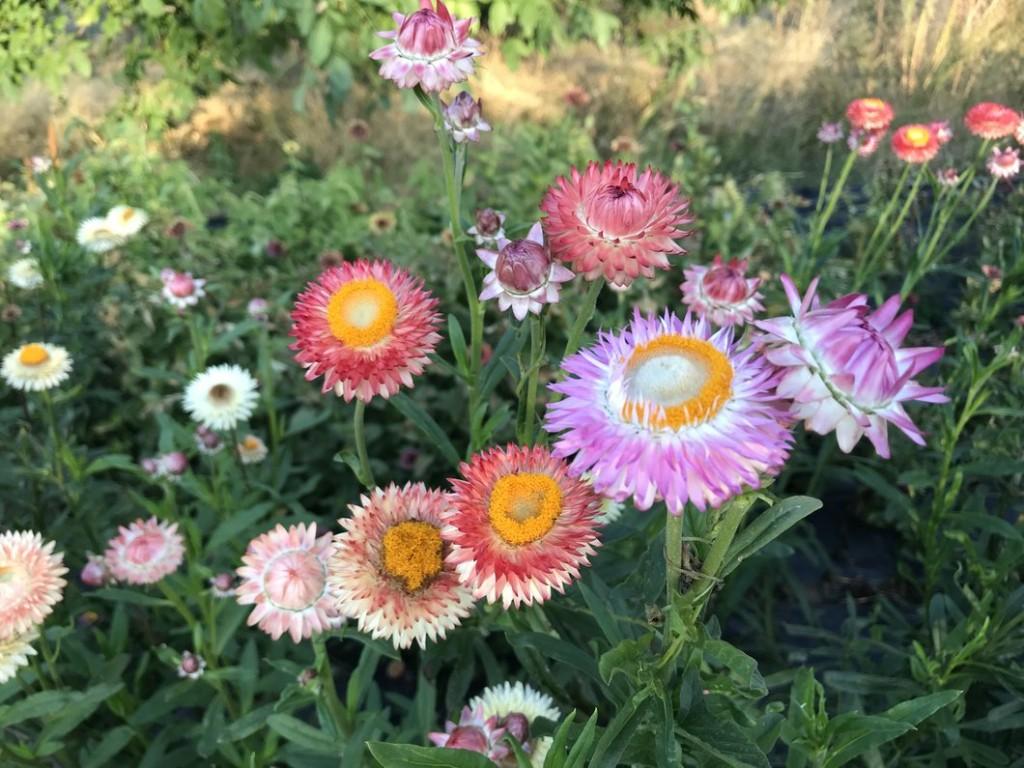 como plantar flor de palha