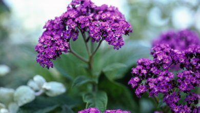 como plantar flor heliotropio