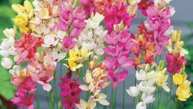 como plantar flor ixia