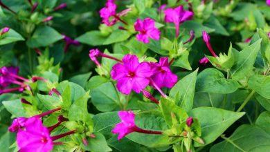 como plantar flor maravilha