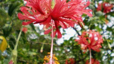 como plantar hibisco-crespo