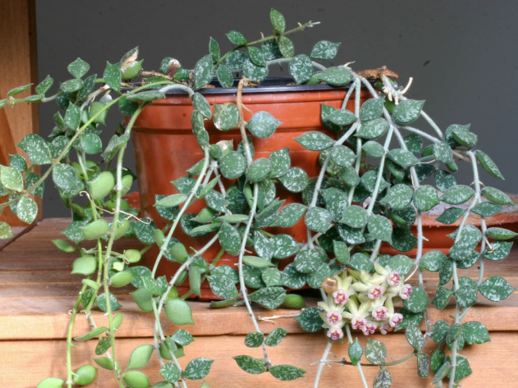 como plantar hoya curtisii