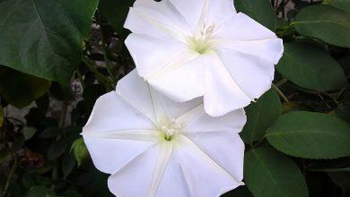 como plantar ipomeia branca