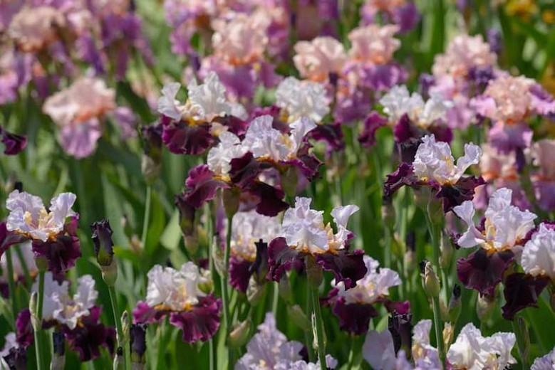 como plantar iris barbudo