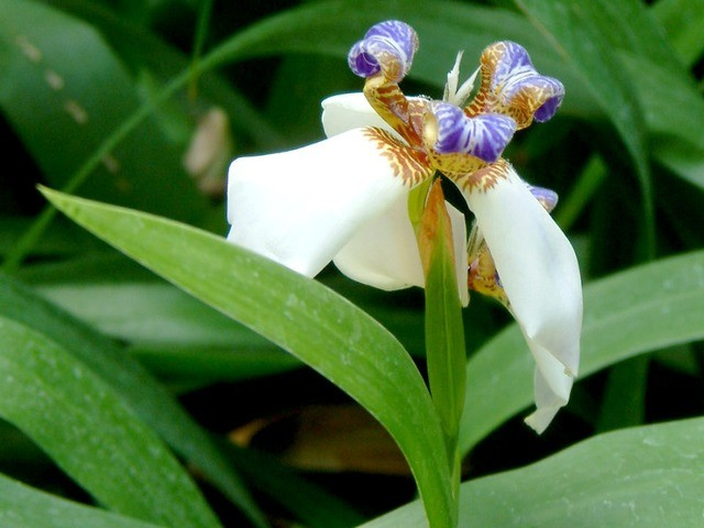 como plantar iris da praia
