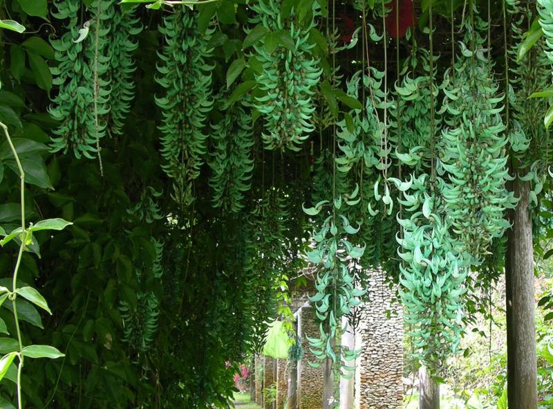 como plantar jade azul