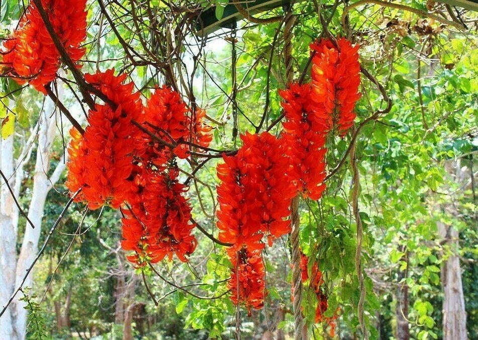 como plantar jade vermelha