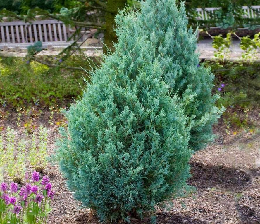 como plantar juniperus communis