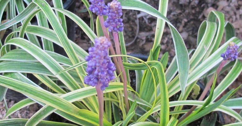 como plantar liriope