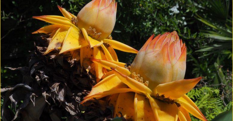 como plantar lótus dourada