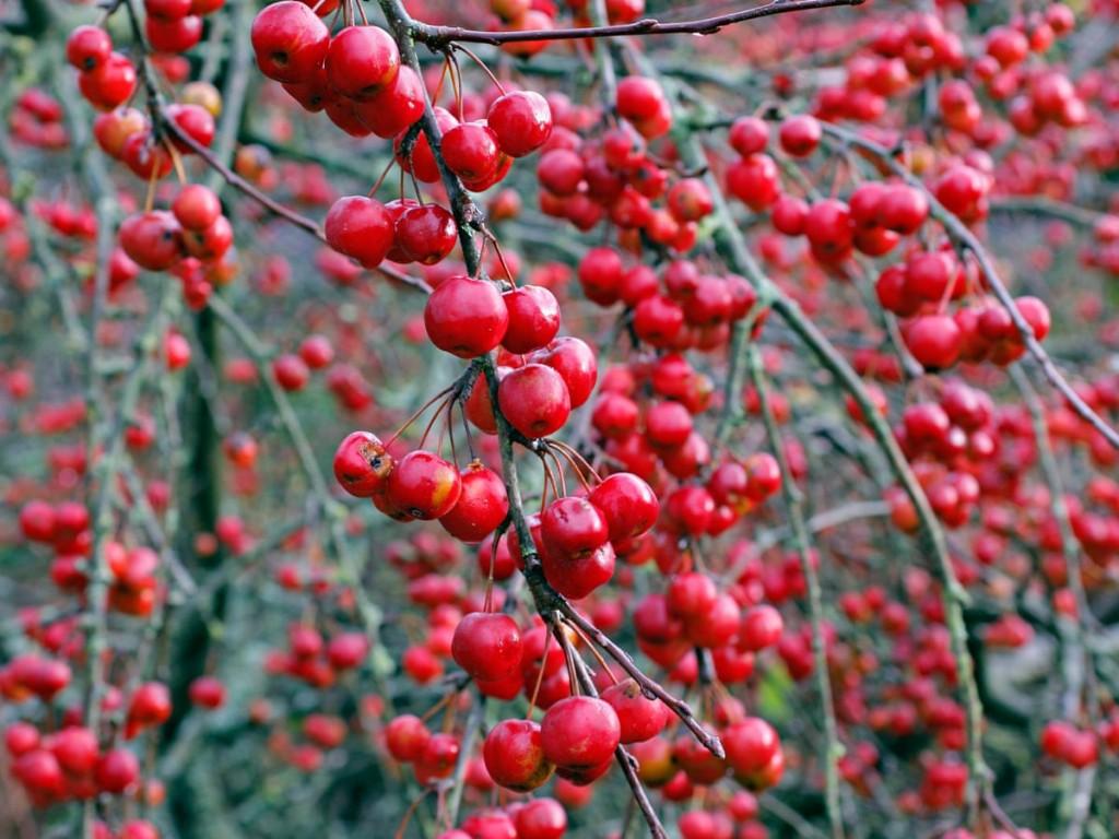 como plantar maçãs silvestres em flor