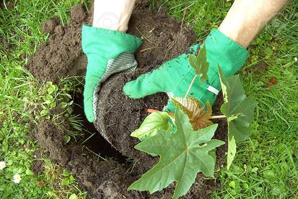 como plantar mamona