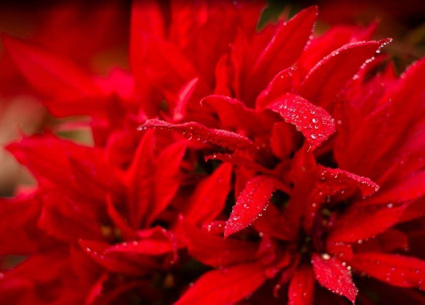 como plantar manto vermelho brasileiro