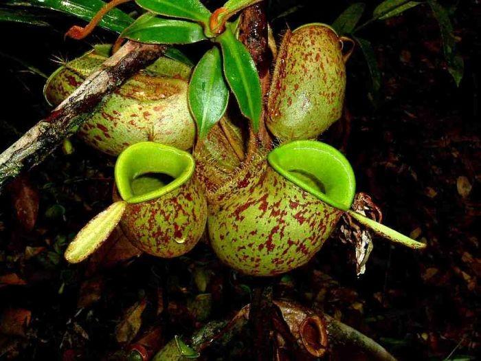 como plantar nepenthes
