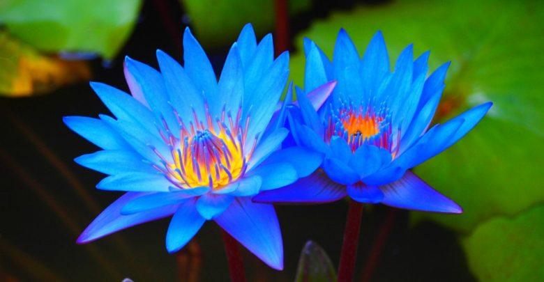 como plantar ninfeia-azul