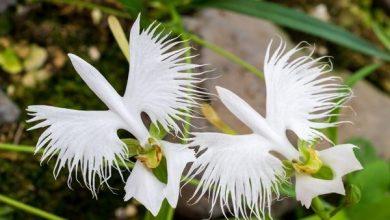 como plantar orquídea garça branca
