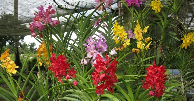 como plantar orquidea vanda