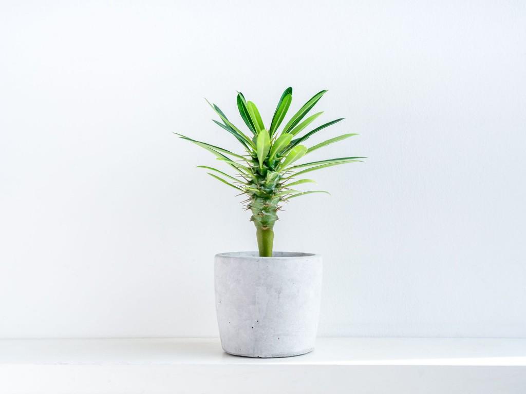 como plantar palmeira de Madagascar