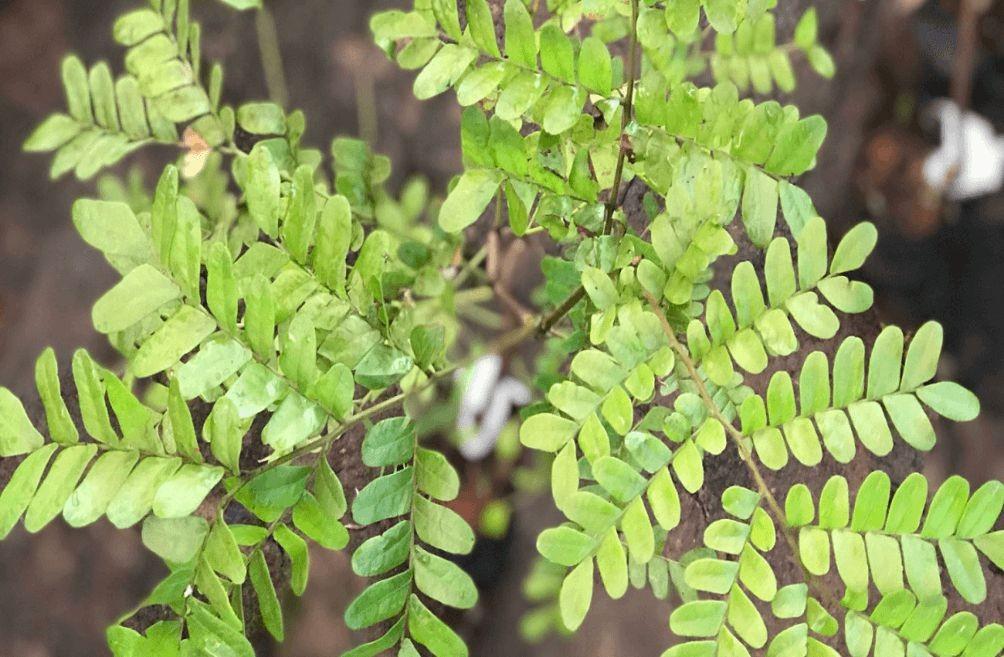 Como plantar pau-brasil