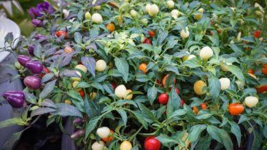 como plantar pimenta boliviana