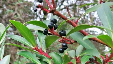 como plantar pimenta da tasmania