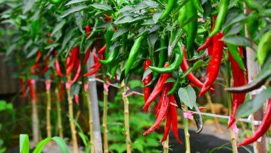 como plantar pimenta dedo de moca
