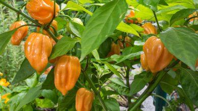 como plantar pimenta habanero